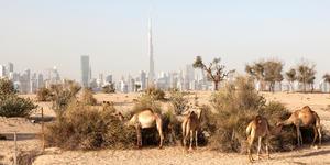 Camel Farm in the Desert of Dubai With Burj Khalifa in the Background (Photo: Philip Lange/Shutterstock)