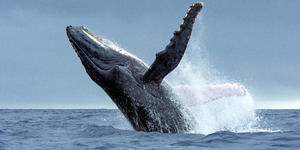 Humpback Whale Breaching in Tonga Waters (Photo: Tomas Kotouc/Shutterstock)