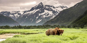 Grizzly Bear (Photo: Robert Frashure/Shutterstock)