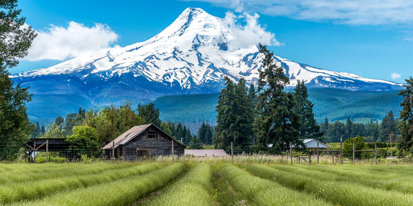 Lavender Valley in Hood River with Mt Hood in the Background (Photo: cbartell42/Shutterstock)