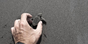 Photograph of an adult male hand releasing a baby turtle into the wild - Photography by Javier Garcia via Shutterstock