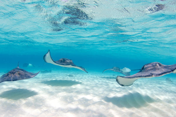 Stingrays at Stingray City in Grand Cayman Islands (Photo: Michelle de Villiers/Shutterstock)