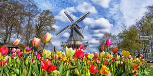 Photograph of the Dutch windmill and colorful tulips in spring garden of flowers Keukenhof, Holland, Netherlands - Photography by MarinaD_37 via Shutterstock)