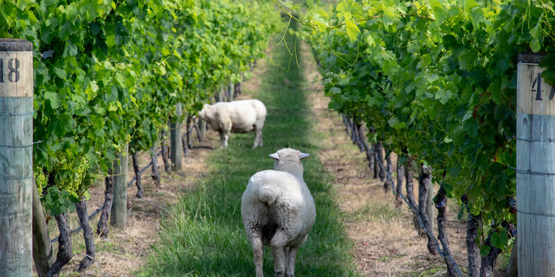 Hawke's Bay winery with sheep near Napier port, NZ (Photo: Tim Faircloth)