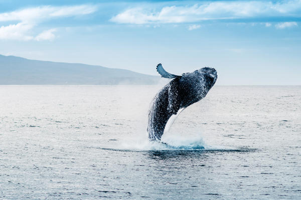 Humpback Whale Jumping out of Iceland Waters (Photo: Andrea Quartarone/Shutterstock)