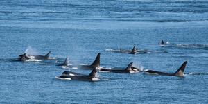 Resident Orcas in British Columbia, Canada (Photo: Karoline Cullen/Shutterstock)