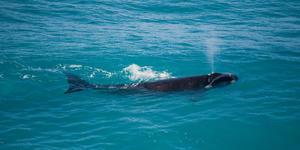 Right Whale (Photo: John White Photos/Shutterstock)
