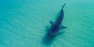 Whale Shark (Photo: Leonardo Gonzalez/Shutterstock)