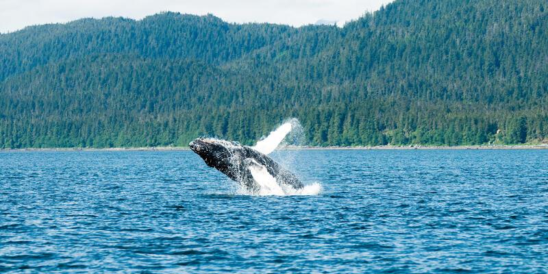 Breaching Humpback Whale in Auk Bay, Juneau (Photo: sahana/Shutterstock)