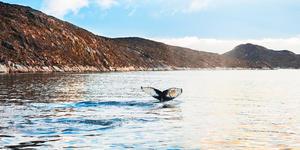 Humpback Whale's Tail Breeching in Greenland (Photo: Olga Gavrilova/Shutterstock)