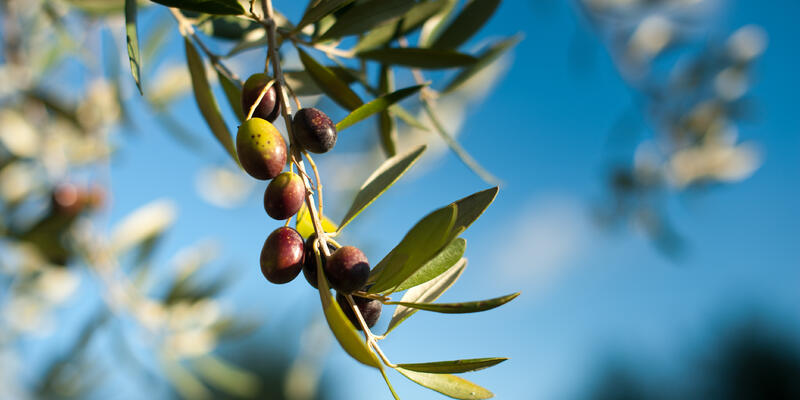 Italian olive branch (via Shutterstock)
