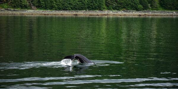 Whale watching in Juneau, Alaska (Photo: Christina Janansky/Cruise Critic)