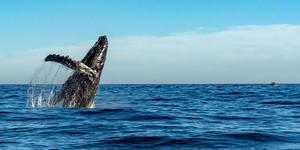Whale Watching in Hawaii (Photo: Andrea Izzotti/Shutterstock)