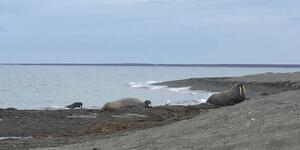 Walruses on the banks of the Svalbard Islands (Photo: Chris Gray Faust)
