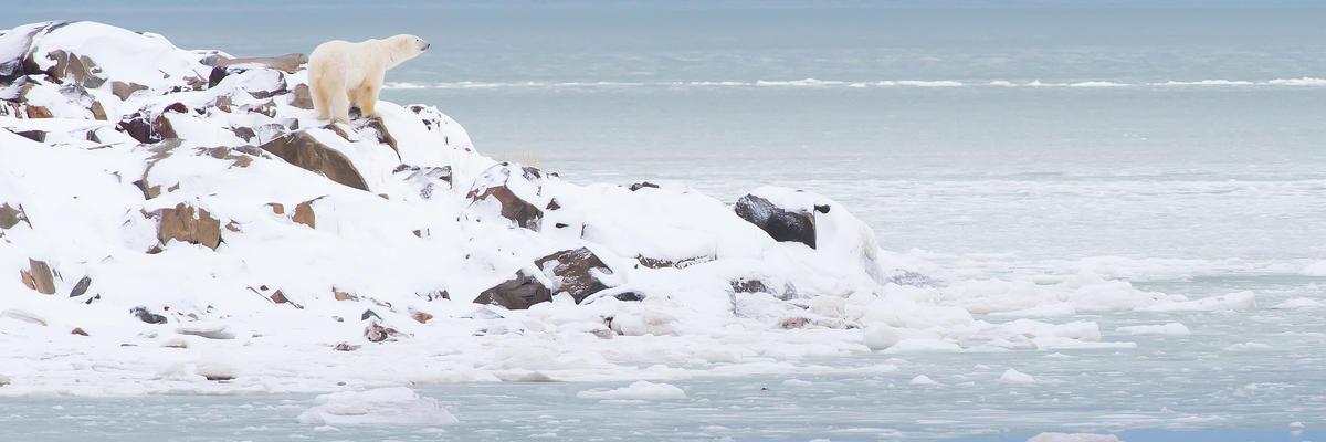 A Polar Bear on Snowy Rocky Terrain in Churchill, Canada (Photo: Don Laidlaw/Shutterstock)