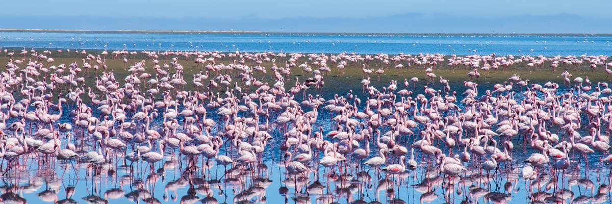 Flock of flamingos at Atlantic Ocean in Walvis Bay, Namibia (Photo: Johannes Laufs/Shutterstock)