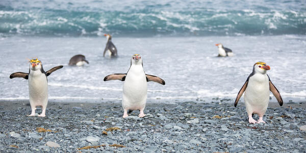 A Group of Royal Penguins (Photo: Roderick Eime/Flickr)