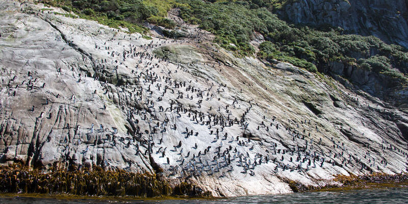 Snares Islands with Penguins Covering the Side of Rocky Terrain (Photo: Roderick Eime/Flickr)