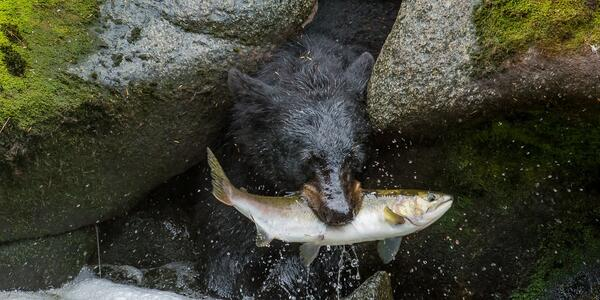 Bear catching a wild salmon (Photo:GoofyontheHiSeas/Cruise Critic Forums)