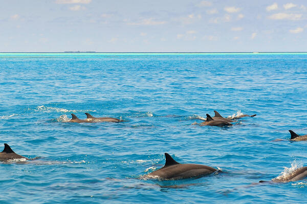 Wild Dolphins Swimming in the Caribbean Waters on a Summers Day (Photo: Jordan Tan/Shutterstock)