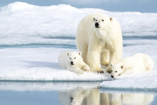 Polar Bear Cruises: Best Arctic Sailings for Polar Bear Spotting (Photo: Himanshu Saraf/Shutterstock)
