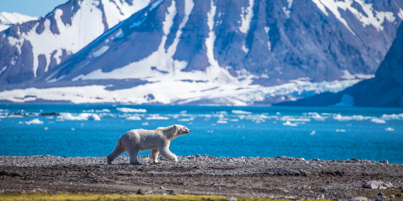 Polar Bear in South Spitsbergen (Photo: Kris Grabiec/Shutterstock)