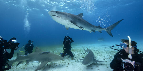 Tiger Shark Swimming over a Group of Scuba Divers, on a Sandy Bottom in the Bahamas (Photo: wildestanimal/Shutterstock)