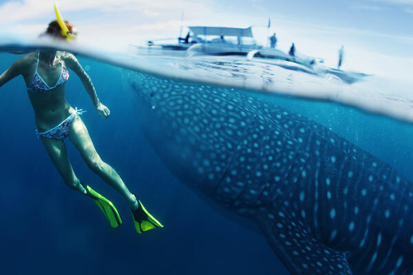Woman snorkeling in the ocean with a whale shark and passenger boat nearby