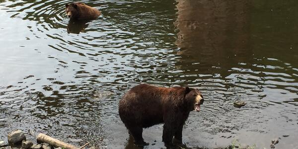 Two Alaskan brown bears take a dip at the Fortress of the Bear in Sitka. (Photo: Ashley Kosciolek)