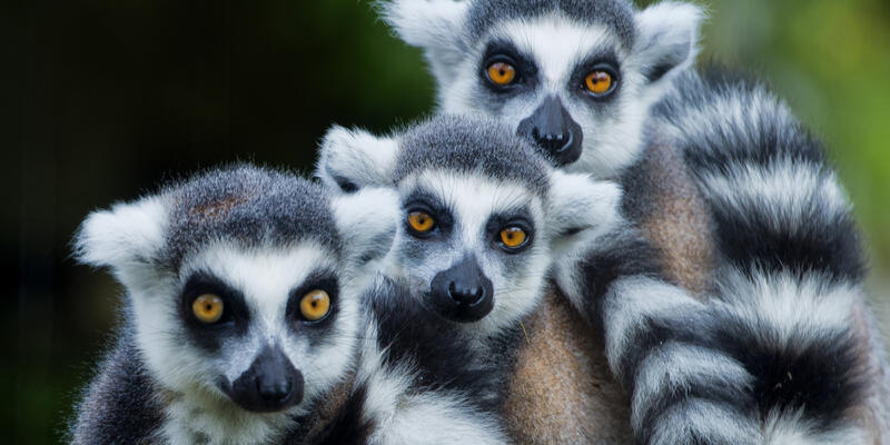 Family of lemur monkeys (Photo: Andrea Izzotti/Shutterstock)