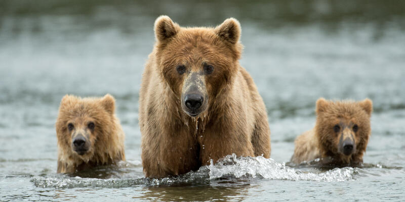 Portrait of three brown bears -- a mother and her two cubs -- walking through the river at Katmai National Park in Alaska