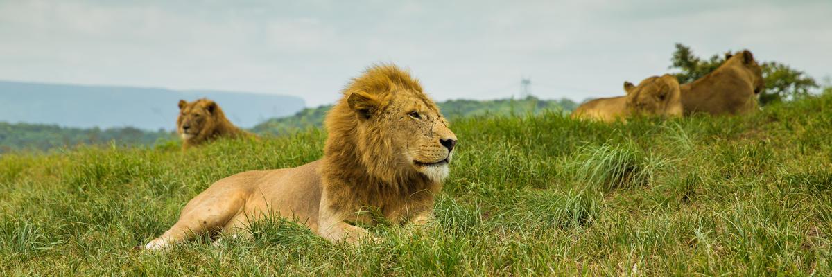 Lion in Kwazulu Natal - South Africa (Photo: Diriye Amey/Shutterstock)