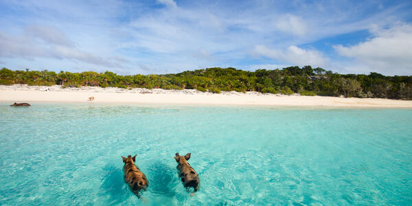 Swimming with pigs shore excursion in the Bahamas (Photo: BlueOrange Studio/Shutterstock)
